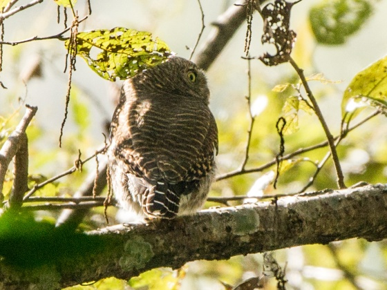 probable Asian Barred owlet
