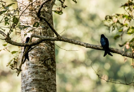 black drongos were common
