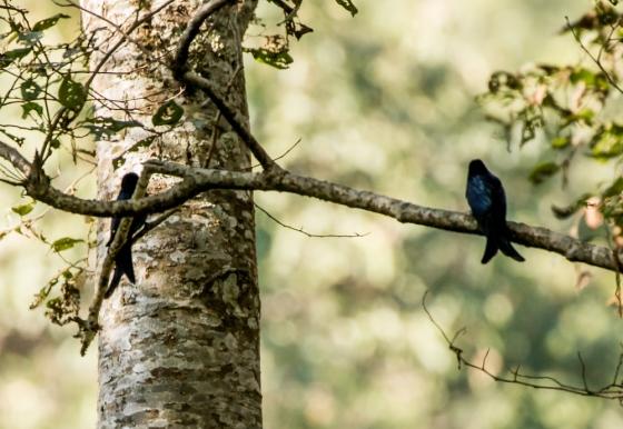 black drongos were common