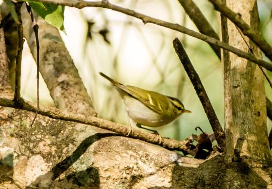Blyth's leaf warbler?