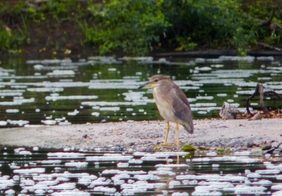 Javan pond heron : non breeding plumage