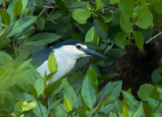 Black crowned night heron...a lifer