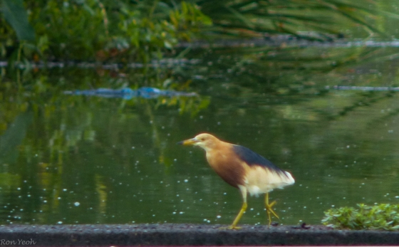 Breeding plumage Jvan pond heron
