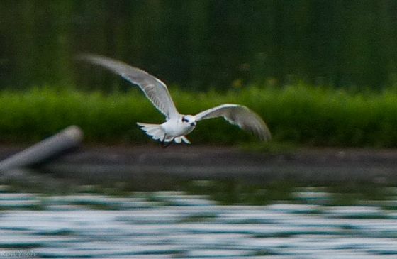 the terns were very active...