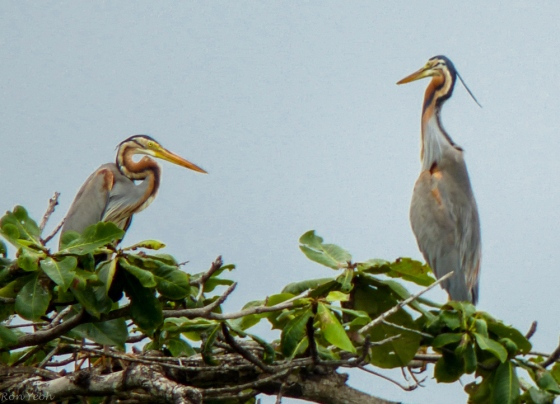 magnificent pair of grey herons