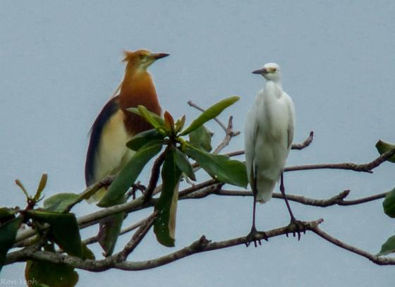 Javan Pond Heron and Egret