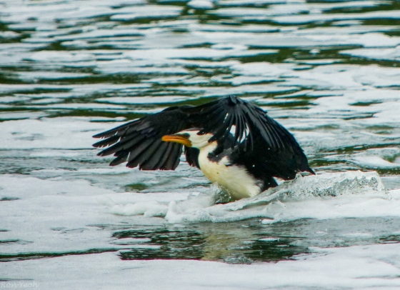 little pied cormorant landing in the water..another lifer