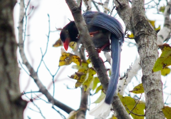 another view of the  blue magpie