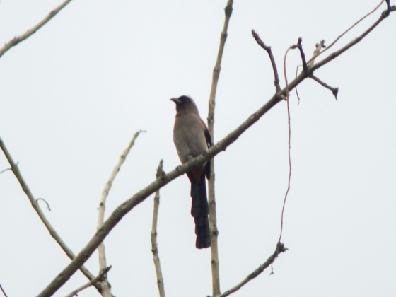 A poor shot of the grey treepie in the dull early morning light