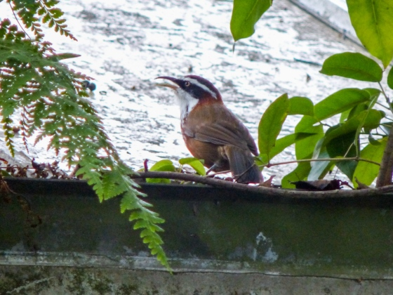 and then another lifer appeared...the Taiwan Scimitar Babbler...here pecking the leaves in the roof gutter