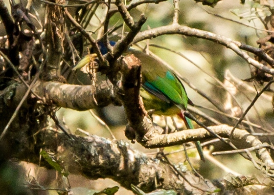 And then I saw this largish bird skulking among the branches from afar....brilliant green