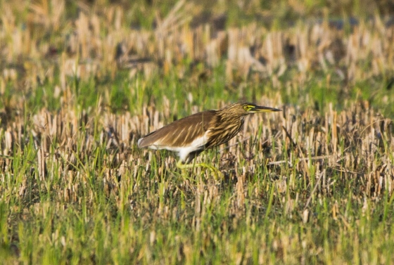 pond heron in the paddy field