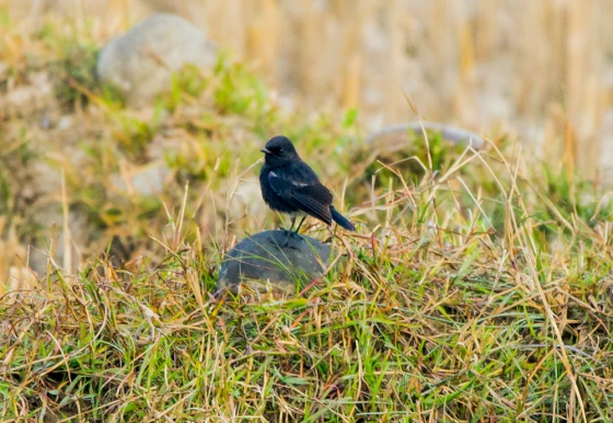 as did a pied bushchat
