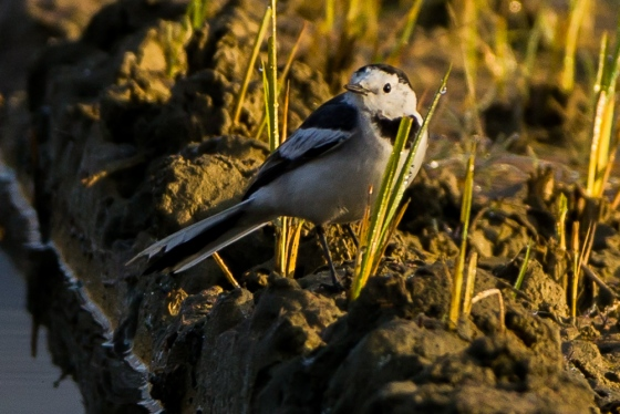 White wagtails wre everywhere