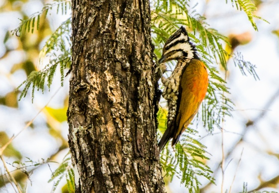 A Himalayan flameback woodpecker appeared