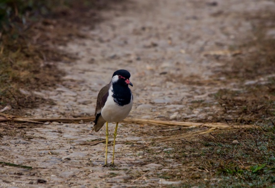 the birding started off tamely enough with this red wattled lapwing on the track