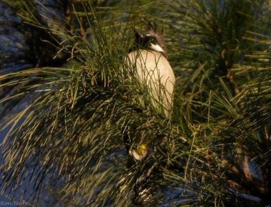 A Himalayan bulbul..the first bird I saw