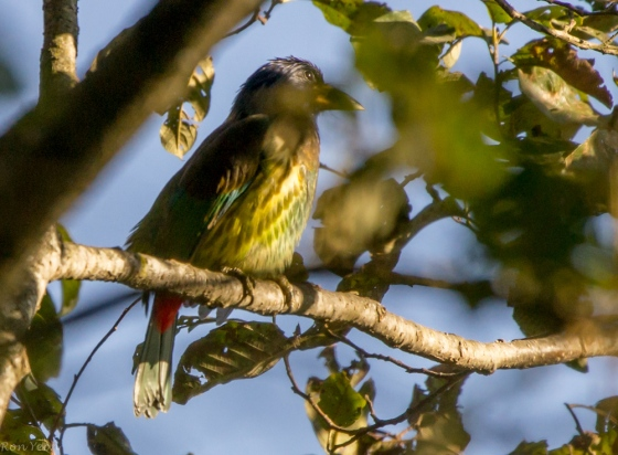 a Great Barbet again, as in phulchowki