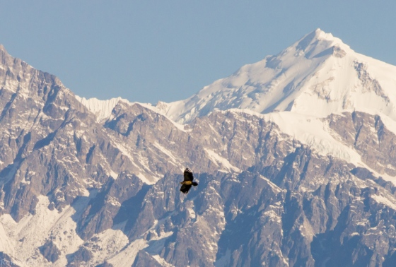 a Steppe Eagle was soaring, with the beautiful Himalayan range in the background