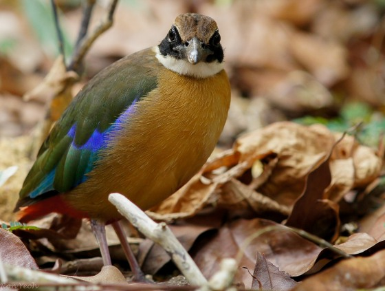 Here the heavier beaked mangrove pitta with less prominent buff lateral coronal stripe above eye