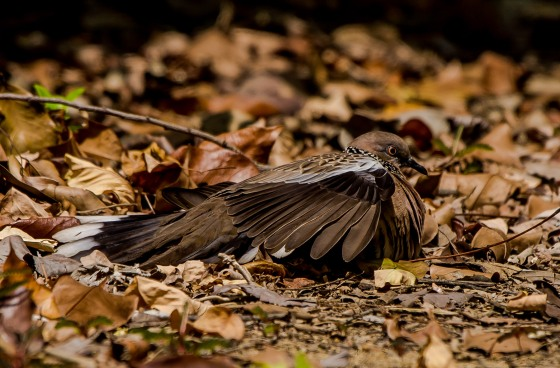 It turned out to be a spotted dove spreading its wings over the leaf covered ground..wonder if there were eggs there...