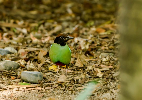 eventually he deigned to emerge...still in the shadows with barely enough light to shoot him...yes, the elusive Hooded Pitta