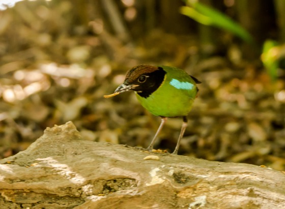 The Hooded Pitta getting the worm made this a good start to the Chinese New Year festivities 2015