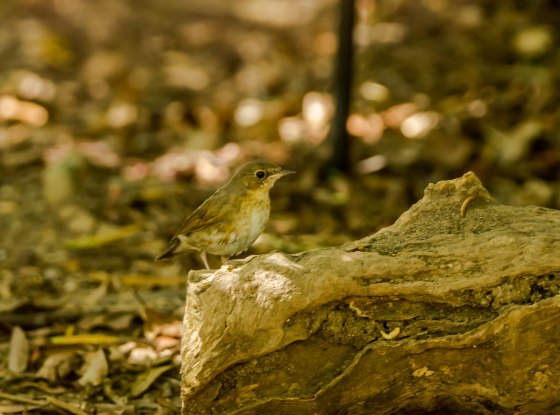 female siberian blue robin