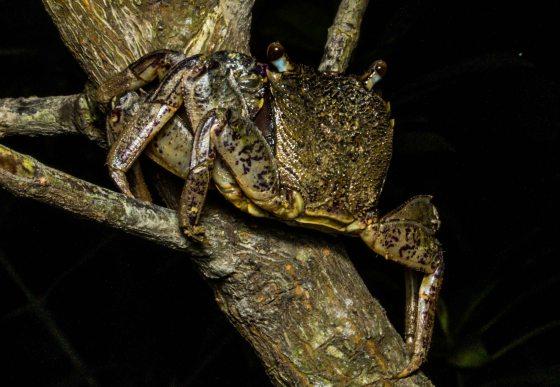 A tree climbing crab!