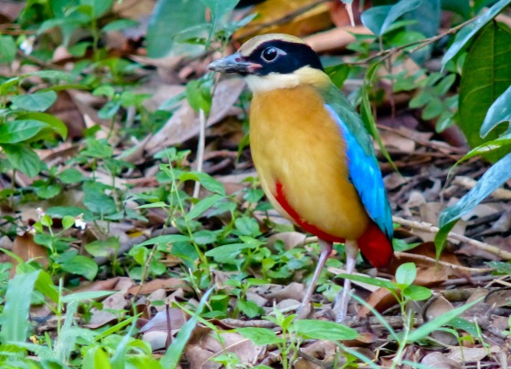 the blue winged pitta for comparison...note the prominent buff lateral stripe just above the eye which distinguishes it from the mangrove pitta