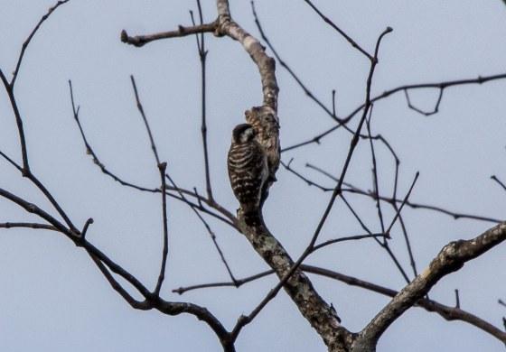 Sunda woodpecker