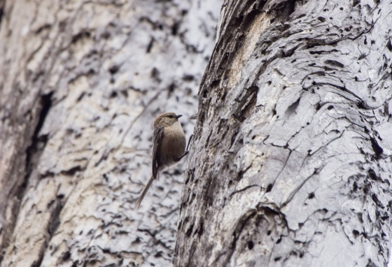 A tiny Bushtit was flitting about actively...