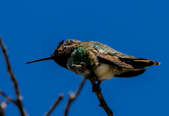 The Anna's Hummingbird was also active here