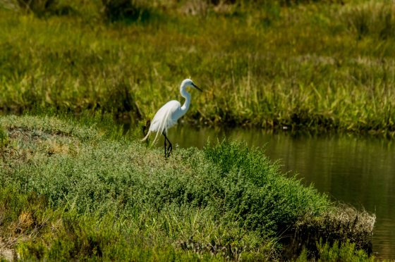 A snowy egret was fishing..