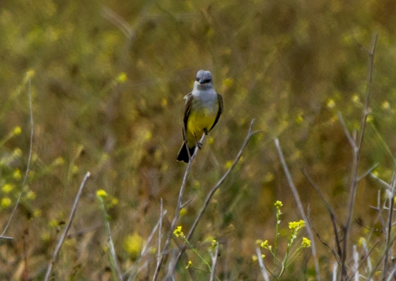 A Western Kingbird