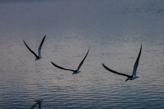 And then this majestic group of Black Skimmers flew overhead..