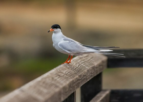 The Californian Least Tern is probably the most common bird here...