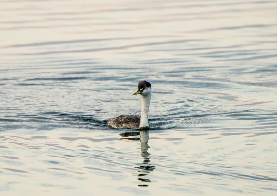 a regal Western Grebe