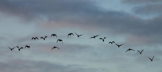 a flight of Ibises overhead