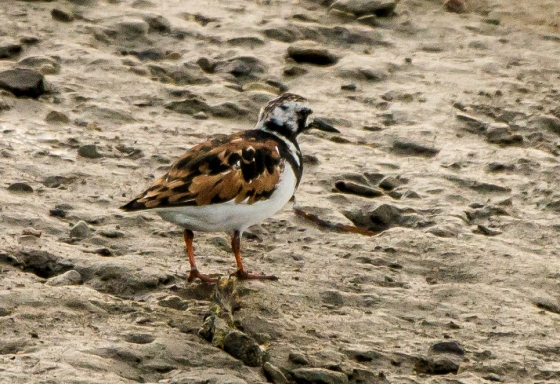 The beautifully coloured Ruddy Turnstone
