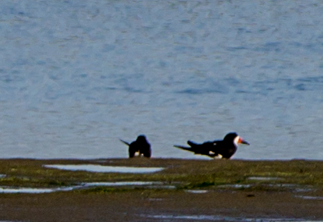 from afar, the Black Skimmer with a red beak..