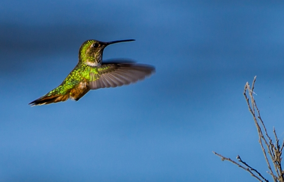 The typical iridescent green back of the Anna's Hummingbird