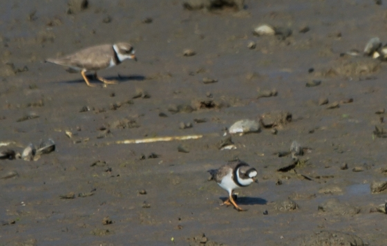 the endearing but bizzarely named Killdeer