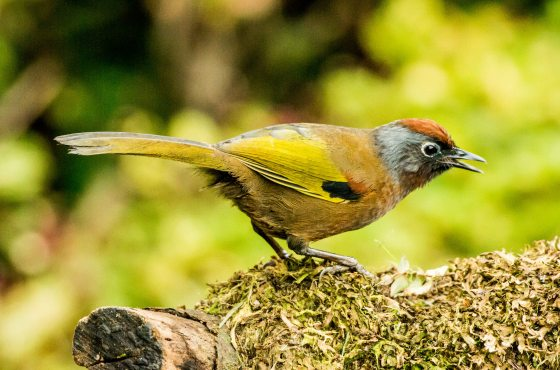 The Chestnut Crowned Laughing Thrush, now known as the Malayan Laughing Thrush was common, as it is in Frasers Hill