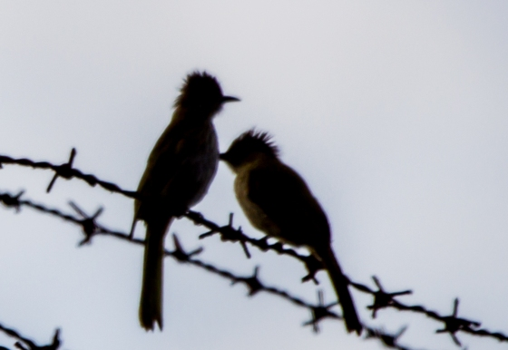 Only managed this poor silhouette shot of the mountain bulbuls