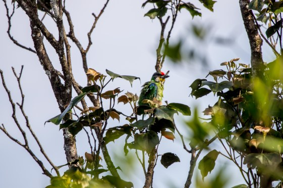 the wonderful colours of the golden throated barbet