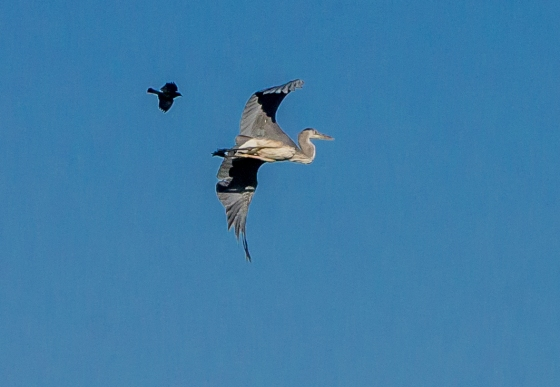 It was a pretty aggressive and territorial bird ..here harrassing a heron and we also saw it harrassing a raptor!
