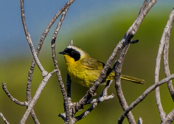 the first bird we saw was this yellow beauty, ID unknown....flitting actively in the bushes..