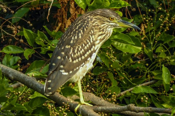 ? juvenile night heron