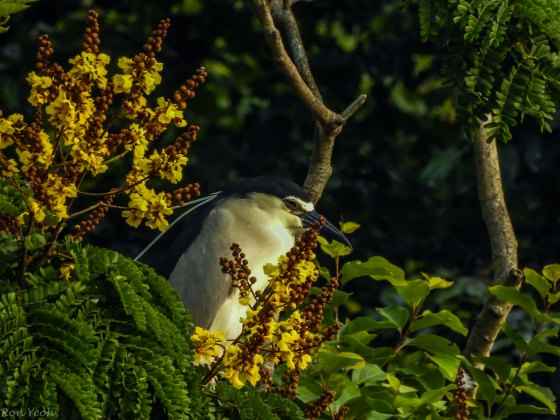 Adult black capped night heron